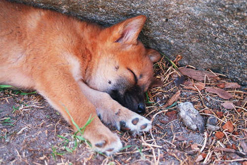 In Australia do dingoes really eat babies  The Straight