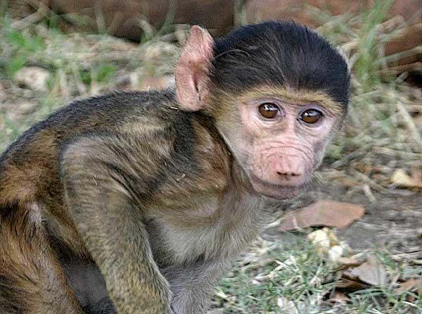 Go Bananas For Baby Baboons Baby Animal Zoo