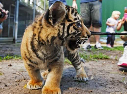 Baby Tiger Baby Animal Zoo