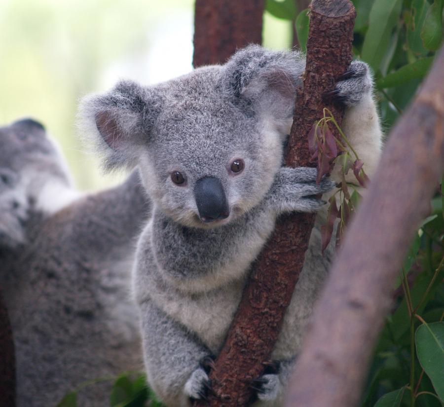 9. Bayi Koala