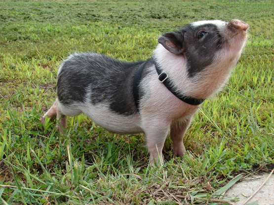 Vietnamese pot bellied pigs baby animal zoo - Pot belly pigs as indoor pets ...