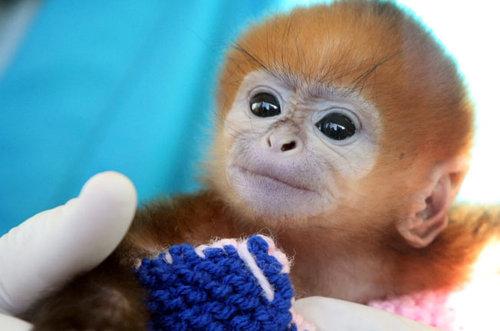 francois langur funny name cute monkey baby animal zoo