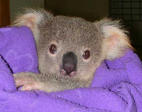 Cute baby koala - photo#12