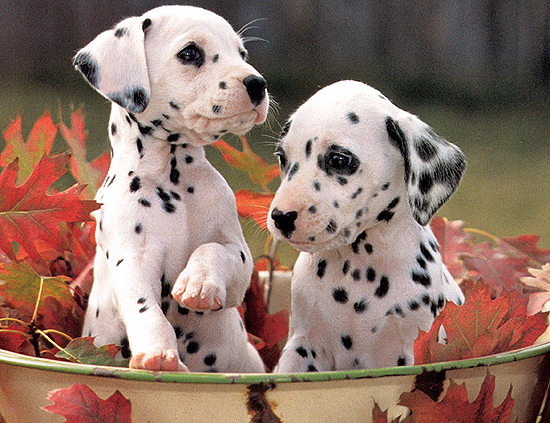 Dalmatian Dog Names Dalmatian Cute Dogs