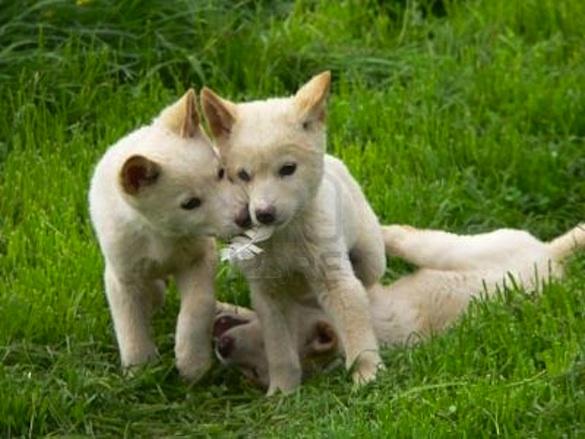 Dingo Babies Nobody Gets Eaten Baby Animal Zoo