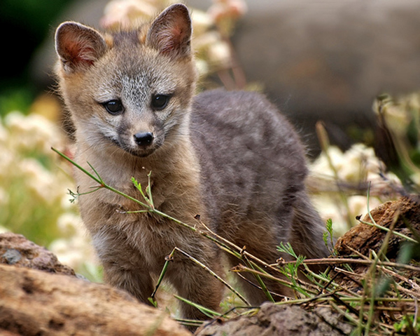 Baby gray foxes - photo#1