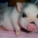 pot-bellied-pig (1)