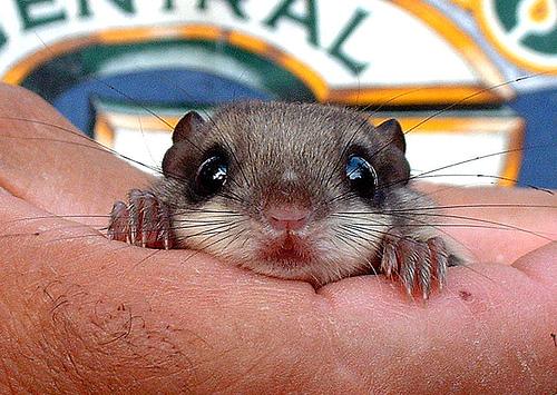 Cute flying squirrels - photo#26