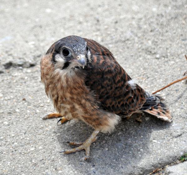 Baby hawk bird - photo#10