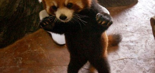 original_danger-baby-red-panda-28656-1233077173-9