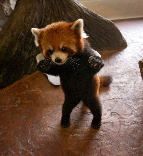 adorable red pandas caught on film baby animal zoo