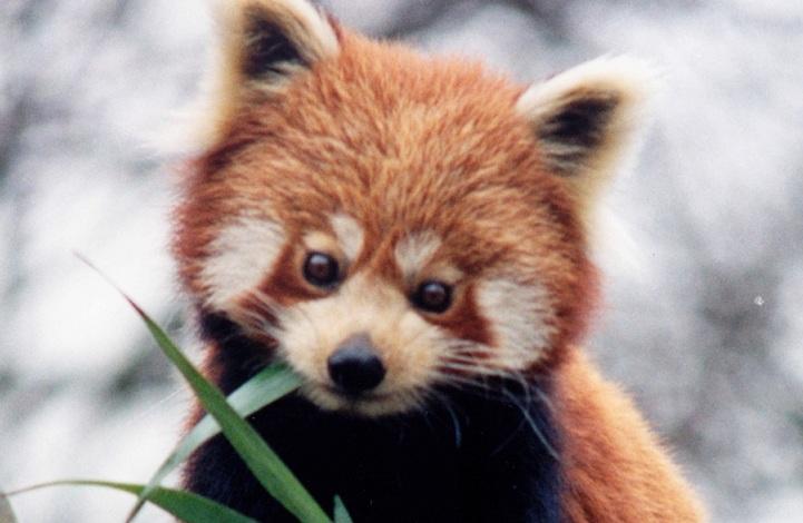 ת×צ×ת ת×××× ×¢××ר âªcute red pandaâ¬â