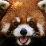 red-panda-40930398487