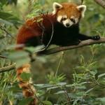 red-panda_680_600x450