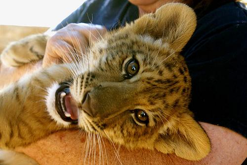 Lion And Tiger Mix Cubs