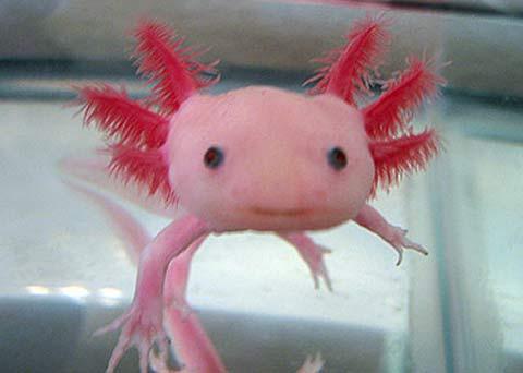 Axolotl Permanent Juvenile And Smile Baby Animal Zoo