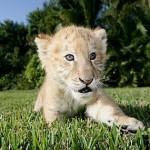 baby_liger