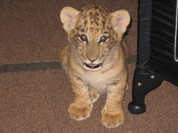 Baby Ligers Baby Animal Zoo