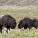 baby-musk-oxen-photograph