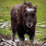 baby-musk-oxen-photos