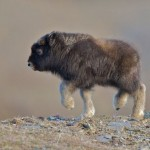 baby-musk-oxen-pics