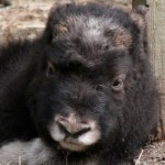 musk-ox-baby-cute-pic