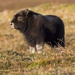 musk-ox-baby-cute-picture