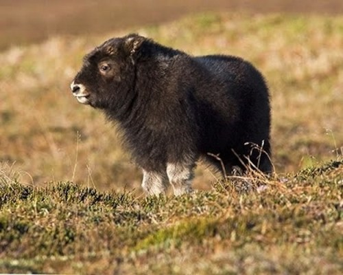 Baby Musk Oxen They Reek Of Adorable Baby Animal Zoo