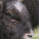 musk-oxen-baby-cute-pics
