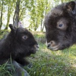 musk-oxen-baby-cute-picture-3