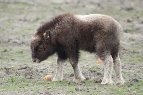 musk-oxen-baby-cute | Baby Animal Zoo