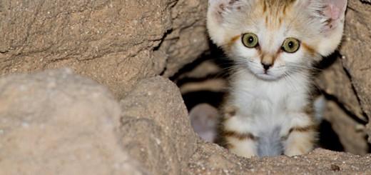 baby_sand_cat