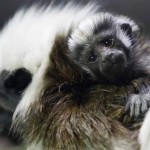 cotton-tamarin