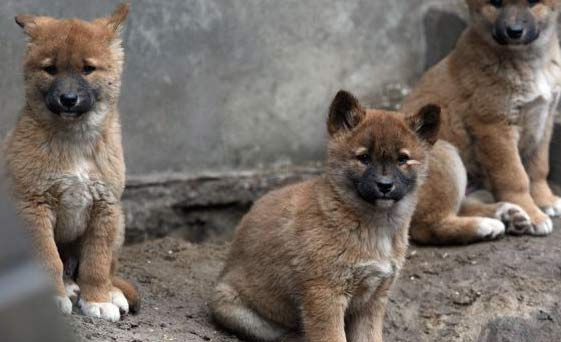Dingo Cubs Baby Animal Zoo