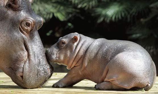 Hippo Nose Baby Animal Zoo