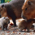 largest-rodents