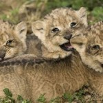 lion-cubs-happy