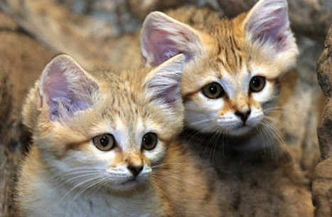 Baby Sand Cats Kittens Of The Desert Baby Animal Zoo