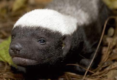 Vernays Ratel Baby Animal Zoo