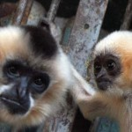 white-cheecked-gibbon