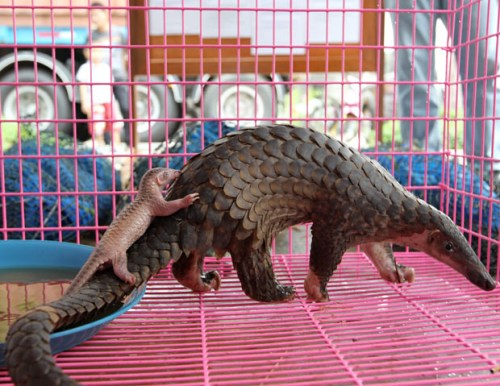baby pangolins are adorable ant eaters baby animal zoo