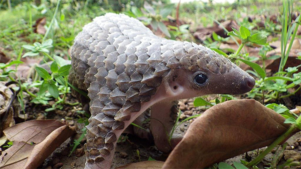 cute_baby_pangolin