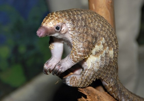 http://babyanimalzoo.com/wp-content/uploads/2013/04/pangolin-baby-pictures.jpg