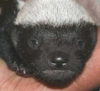 Baby Honey Badgers Also Don T Care Baby Animal Zoo