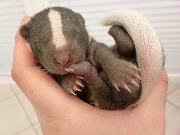 Baby Skunk Food