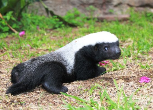 Baby Honey Badgers Also Don't Care | Baby Animal Zoo
