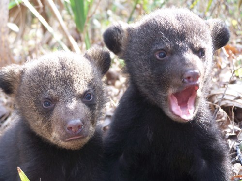 black-bear-cubs