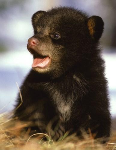 Rare Black Bear Quints! | Baby Animal Zoo - photo#2