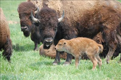 Baby Bison Bonanza Baby Animal Zoo