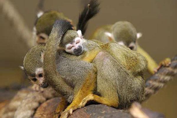 baby-squirell-monkey-cute-mama